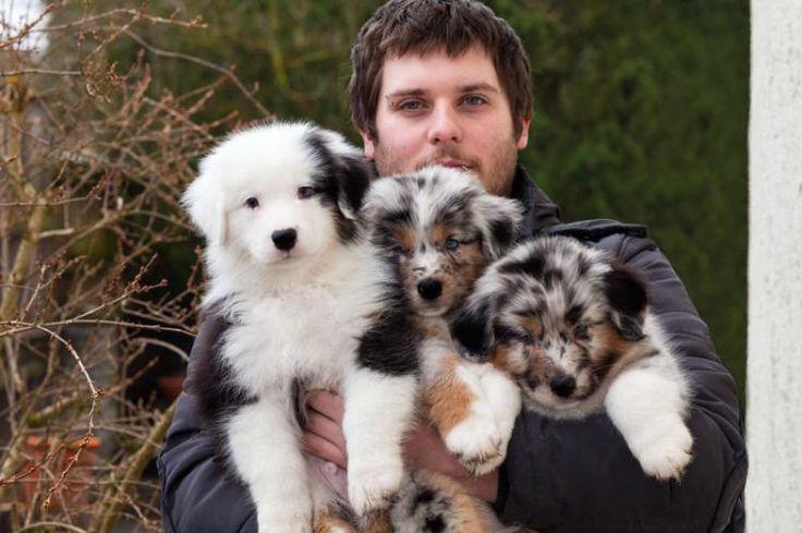 Wir planen Weihnachtsbabys - Australian Shepherd