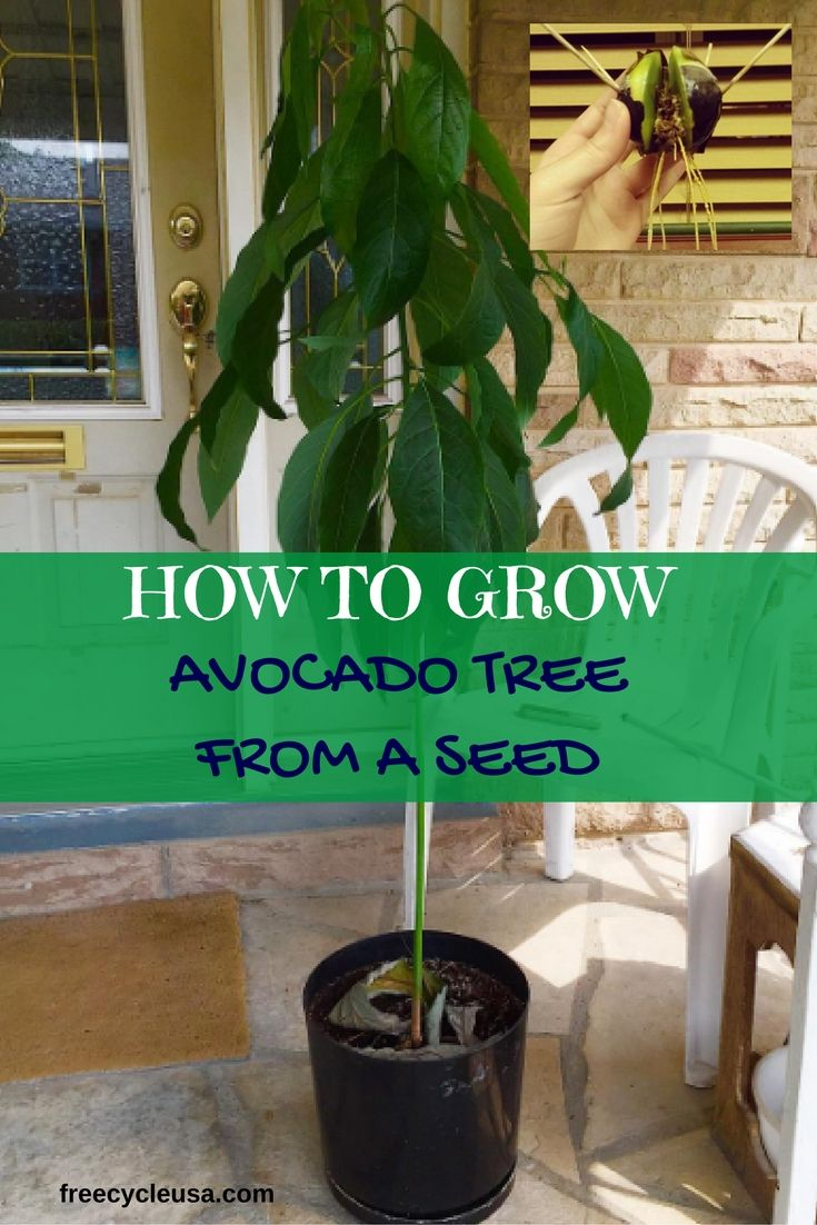 how to grow an avocado tree from seed how to grow plants pinterest growing an avocado tree. Black Bedroom Furniture Sets. Home Design Ideas