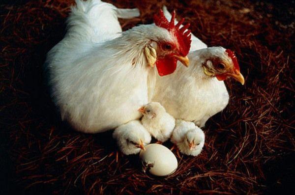 Леггорн с белой курицей и цыплятами