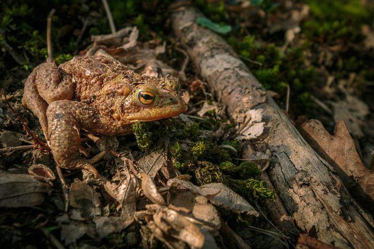 Naturbilder Top-10: Erdkröte
