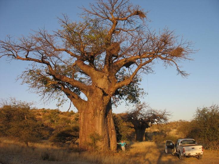 Baobabs... pre-historic trees! Mapungubwe, SA :)