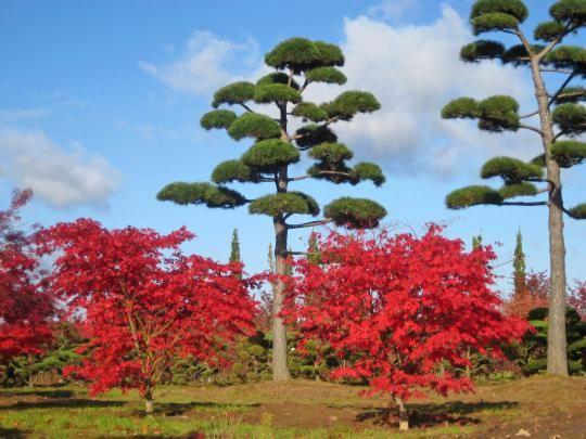 pinus nigra austriaca bonsai, lorenz von ehren - baumschulen seit, Best garten ideen