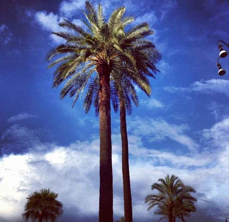 Palm trees in Piazza Cavour #northside