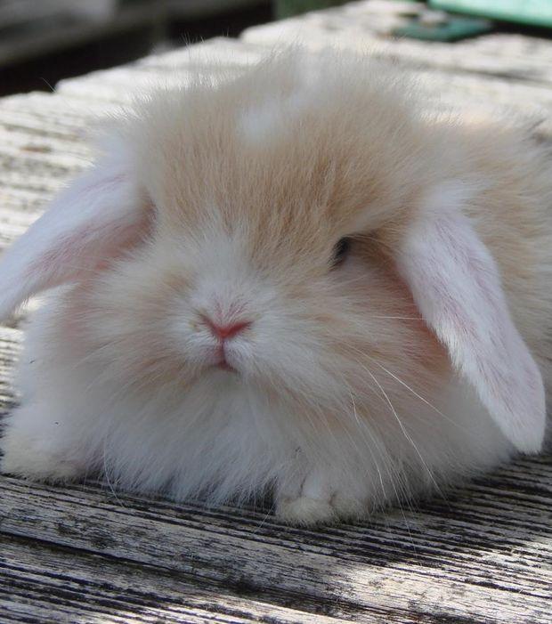 Un lapin bélier angora