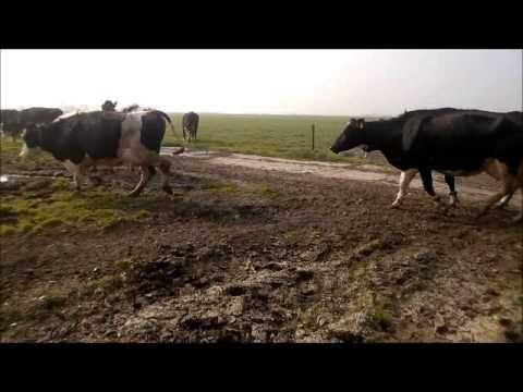 film Sjoerd Miedema Haskerdijken koeien naar de wei. adopteer een are en help de weidevogels  www.meermiedemanatuurlijk.nl