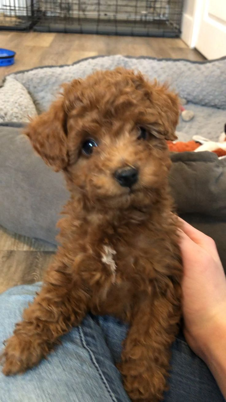 Adorable Poodle Pup Cute Dogs Breeds Cute Baby Animals Puppies