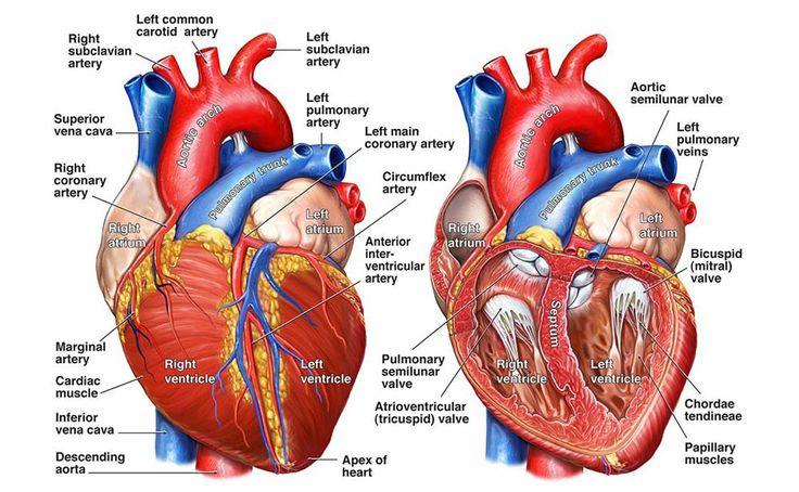 10 best Heart Anatomy images on Pinterest   Heart anatomy ...