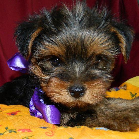 Enrico - Yorkshire Terrier (10)
