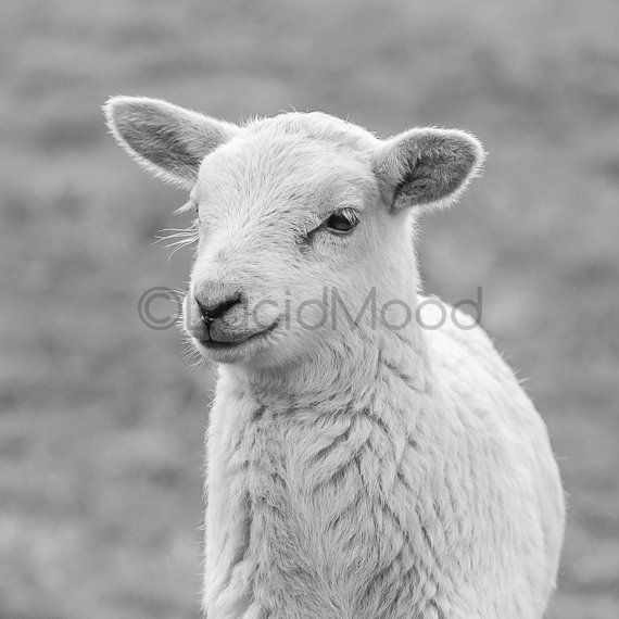 Black white lamb fine art print farm animal by lucidmood on etsy 20 00