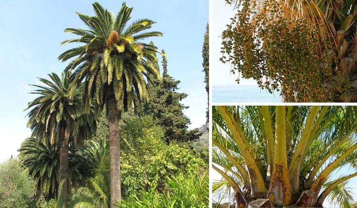 Palmera canaria (Canarias).