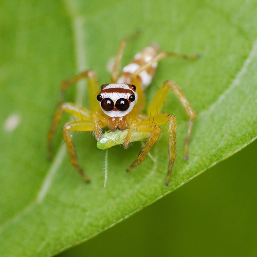 unidentified species of jumping spider found in Endau Rompin National Park, Pahan, Malaysia  (photo: HK Tang)