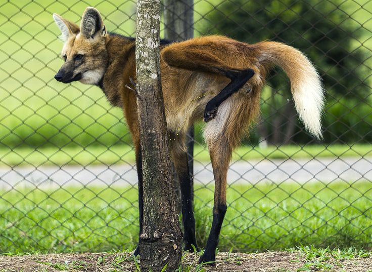 A maned wolf urinating on a tree to mark his territory
