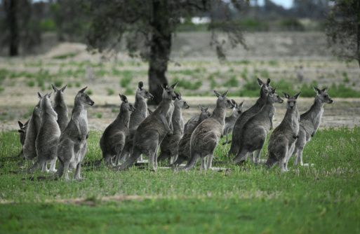 Did you know?  3 exciting Australian facts that you may not know about a roos camels and a fence.
