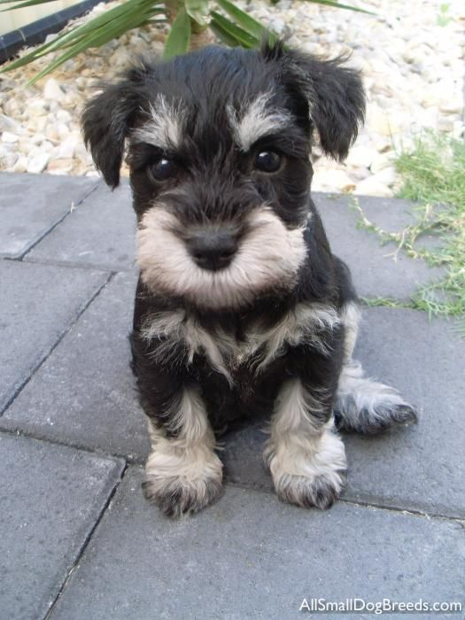 OMG this little mini Schnauzer puppy is just so adorable look at her chest the markings are so interesting and her name Xena is so cute!! How can you not love this puppy