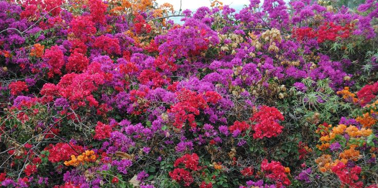 LA BOLSA BLANCA/ octubre 2011 -Bougainvillea x buttiana + Bougainvillea spectabilis.