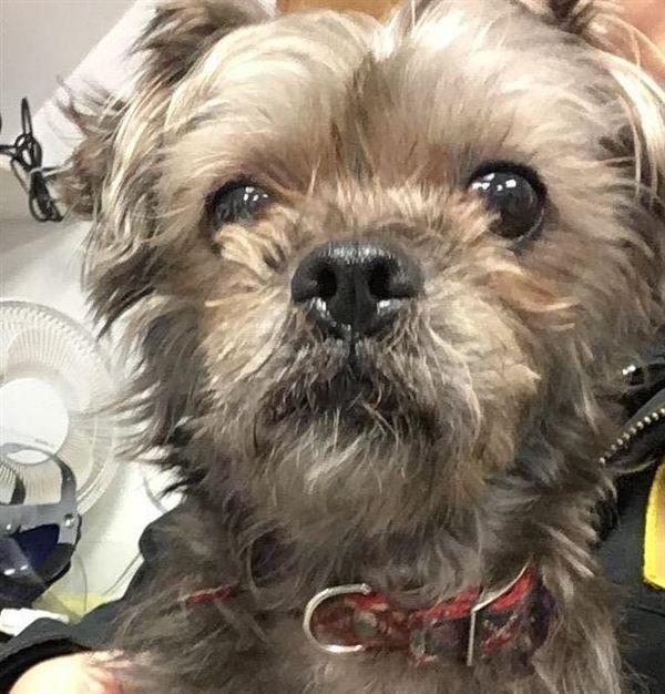 Adopt Lolli On Rescue Dogs Dogs Shih Tzu