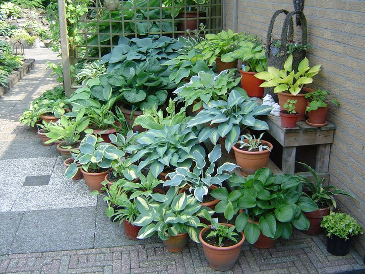 Collection Of Hostas In Pots