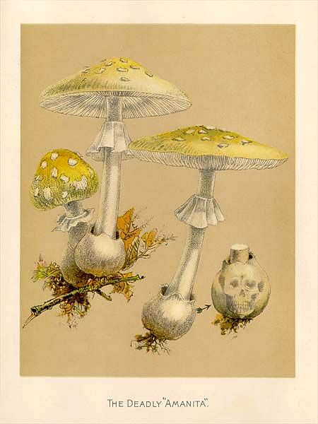 """MykoWeb -- Color Plates from """"Our Edible Toadstools and Mushrooms"""""""