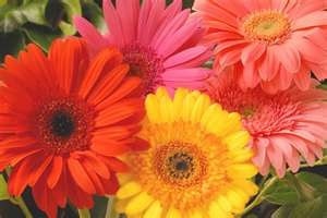 Are these the happiest flowers you've ever seen?  Gerbera DaisiesDaisies Flower, Colors Flower, Gerber Daisies, Gerbera Daisies, Favorite Things, Wedding Bouquets, Gerbera Daisy, Happy Flower, Favorite Flower