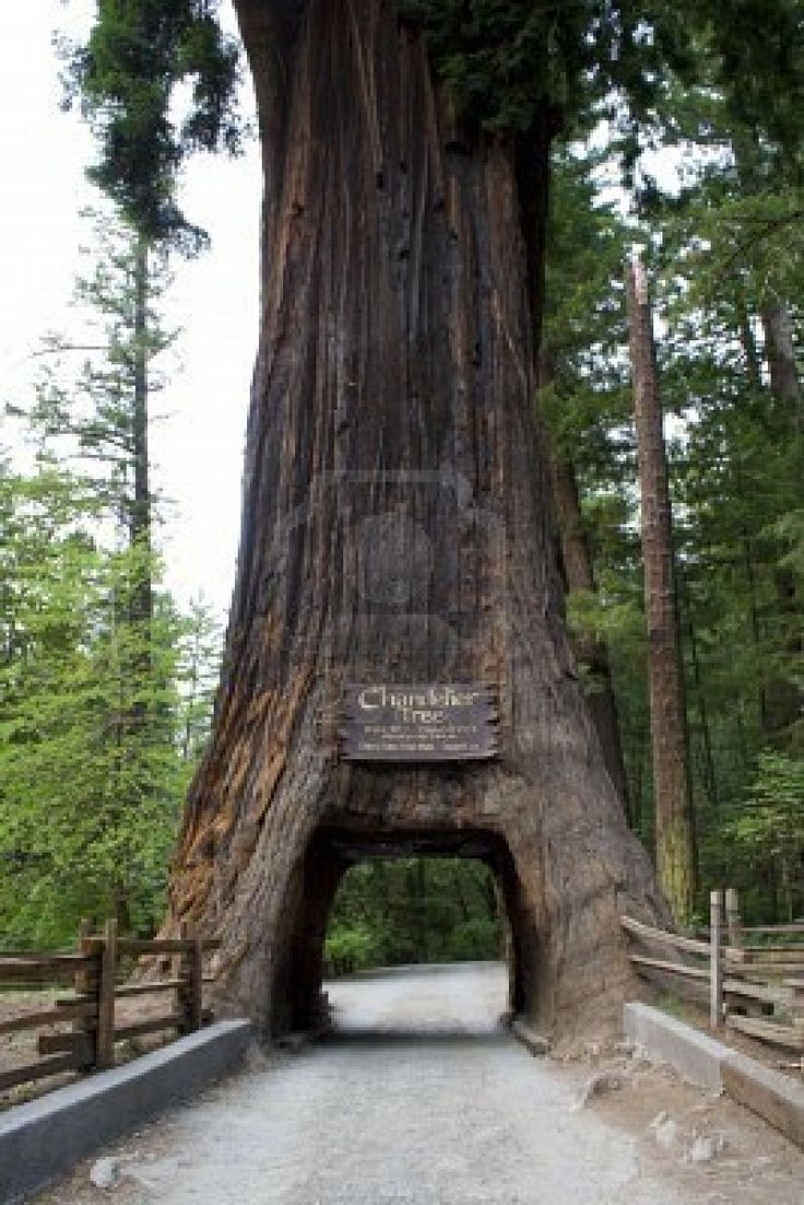 13 best images about Sequoia on Pinterest | Trees, Sequoia ...