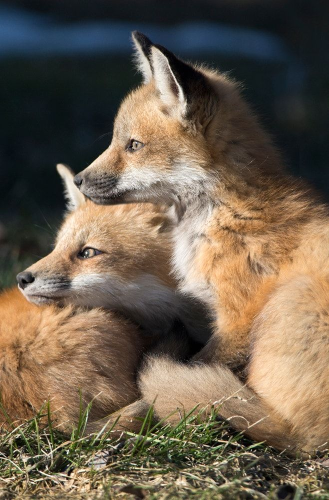 Young foxes - null
