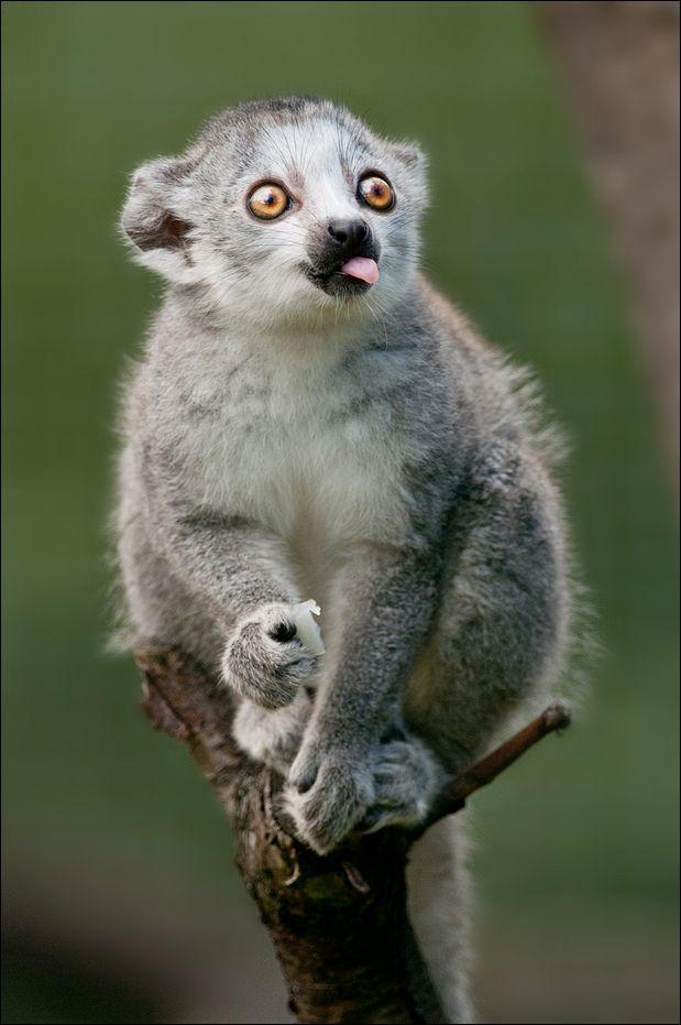 ~~Cheeky • little Lemur • by svenimal~~