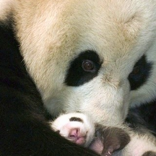 Panda baby from Julia Pulia