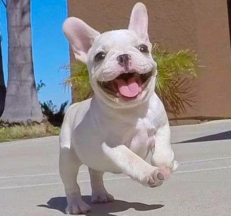 Best 25+ Teacup french bulldogs ideas on Pinterest ...