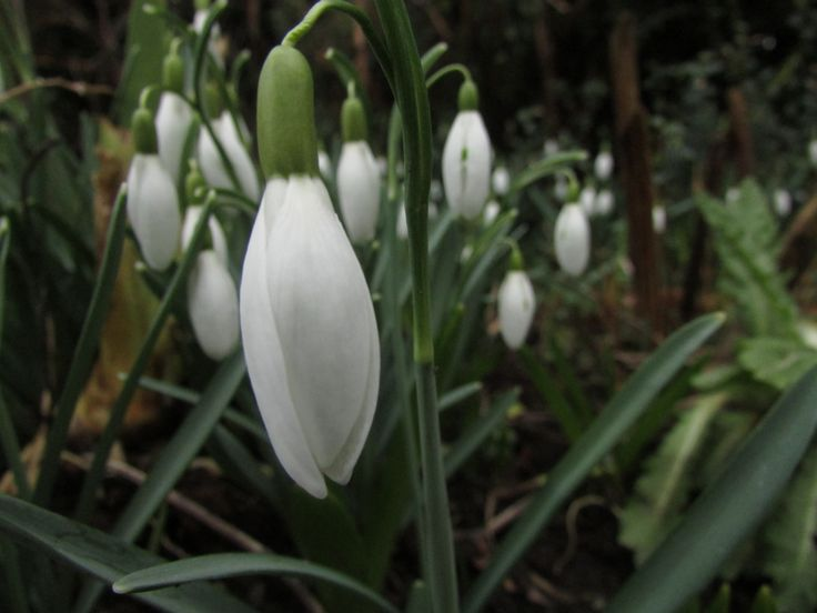 SnowDrops - This great and up close photo of the tiny flower represents what this album is about, it is about new life and how every year new flowers and life are revived, these snowdrops are one of the first flowers to grow after the winter season.