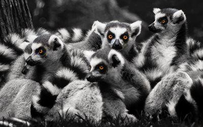 Scarica sfondi Lemuri, famiglia, fauna selvatica, monocromatico