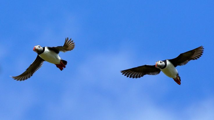 A fast shutter speed enabled David Cooper, from Glenrothes, to snap puffins in flight over the Isle of May.