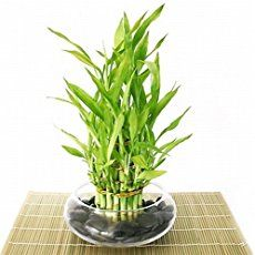Lucky Bamboo house plants are believed to bring good luck by feng shui enthusiasts. You won't need luck to grow it, care for indoor bamboo plant couldn't be easier.