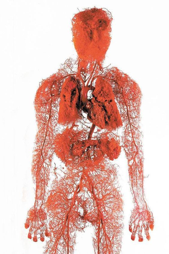 Blood Vessels In The Human Body: