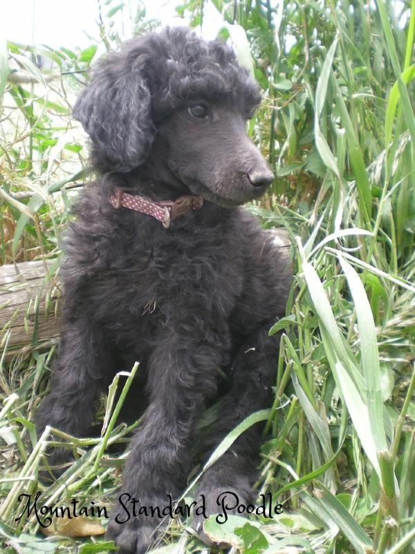 Violet at 7 weeks old. She is a blue standard poodle puppy. She is from Champion lines.