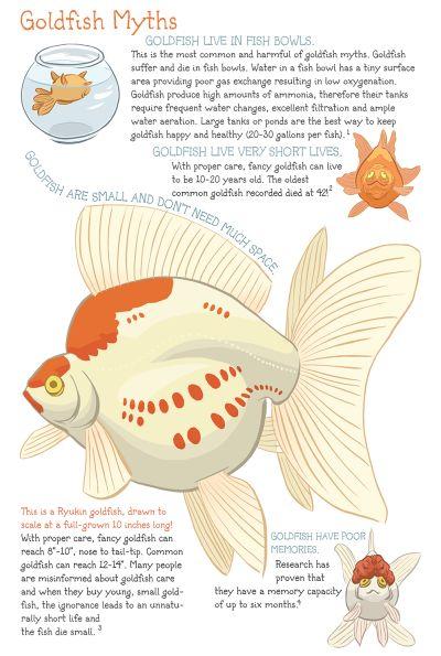 ryukin goldfish | Tumblr