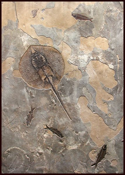 Exceptional Stingray and Fish Mural. This and more rare fossils for sale on CuratorsEye.com