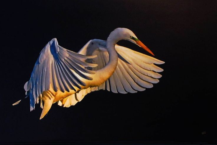 Flight. A great egret lifting off. Photography. 20 x 30. Artist: Stu Harrison.