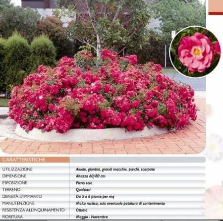 rosa heidetraum