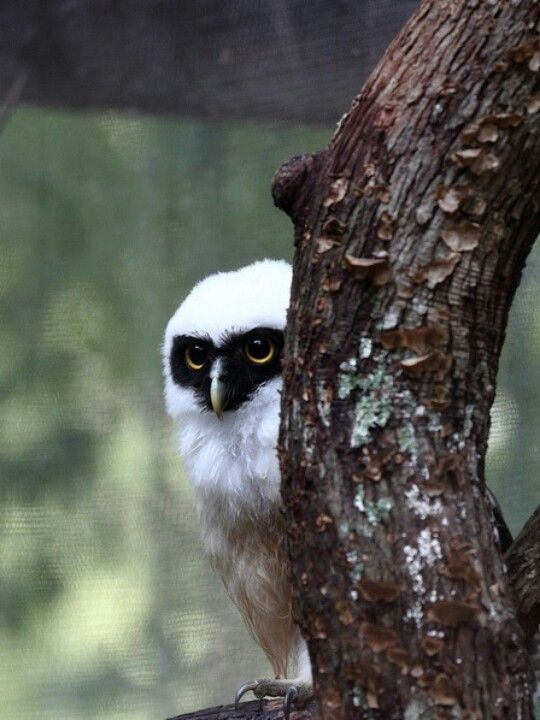 Spectacled Owl (by The Zoo Dude)