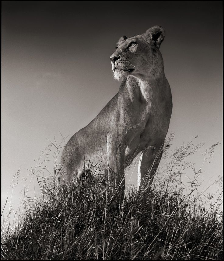 Nick Brandt Photography LIONESS ON MOUND SERENGETI - Powerful and intimate black white animal portraits by luke holas