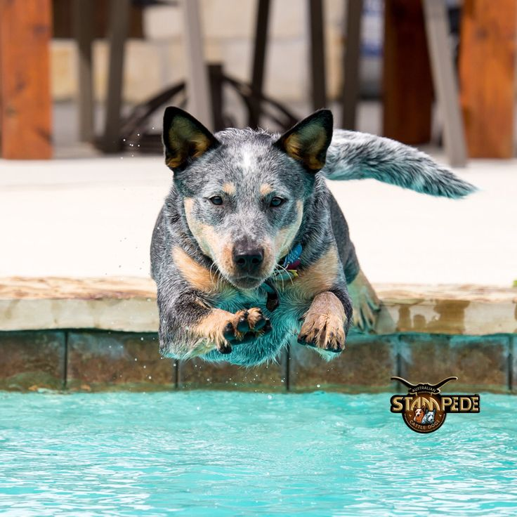 best 25 blue heeler dog ideas on pinterest cattle dogs. Black Bedroom Furniture Sets. Home Design Ideas
