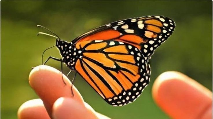 Sponsorisez Leader, Liberal Party of Canada/Chef, Parti libéral du Canada Justin Trudeau, Michelle Obama: Save the Monarch Butterfly extinction by creating a pesticide free corridor