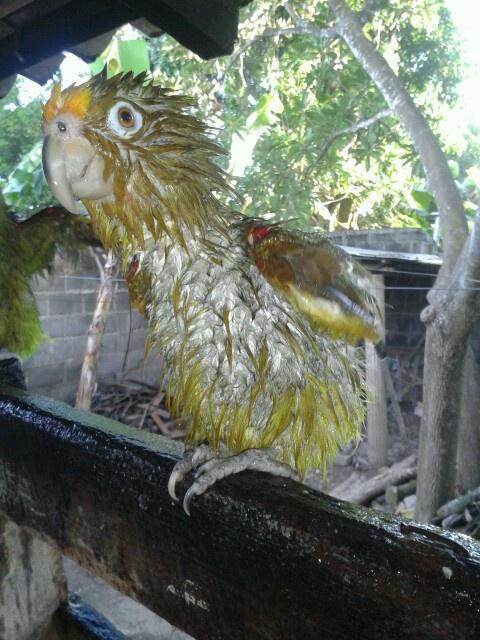 Así se ve un lorito real después de bañarse. Parrot