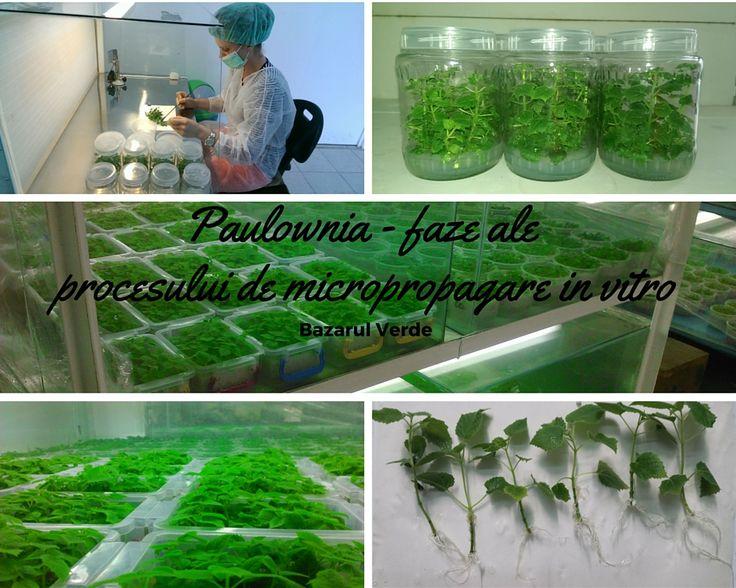 Sperante marete, dorinte implinite, documentare intensa si sansa de a cunoaste oamenii potriviti au fost si sunt caramizile de temelie pentru infiintarea si functionarea laboratorului nostru de micropropagare vegetativa in vitro. Laboratorul de micropropagare vegetativa in vitro l-am construit cu ajutorul unor specialisti care ne-au oferit si consultanta necesara integrarii lui in fluxul de productie.... mai mult