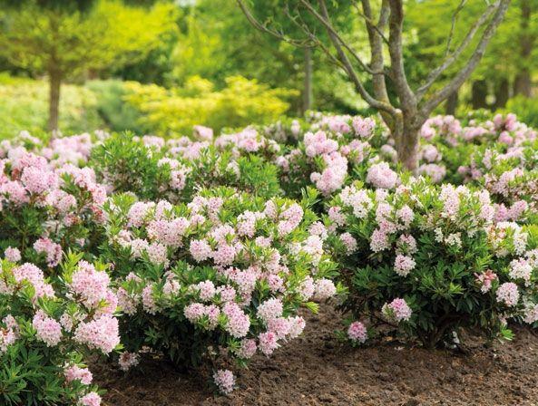 Blühender Buchsbaum