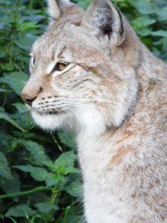 earlybirder: The Lynx Effect......?