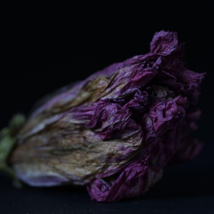 Don Urban. Faded bloom. . . . #flowers #botanicalphotography #nature #art #botanicalart #botanical #flora #photography #flowerporn #macro #floweroftheday #macrophotography #macroflowers  #botanicalart #flowersandmacro #botanicaminima #botanicalportrait #moodybotanicals #plantsonblack #flowersonblack #macro_vision #macro_perfection #darkbotanical #moodybotanicalportraits #botanicaetcetera #plantnerd #lovelydeadcrap