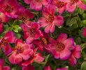 Mojave® Red - Moss Rose - Portulaca grandiflora | Proven Winners