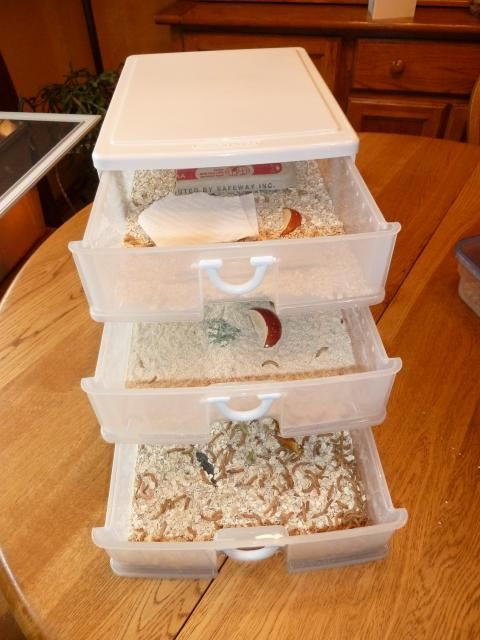This is the way to raise meal worms.  Great chicken food supplement.  So easy to do in plastic drawers.