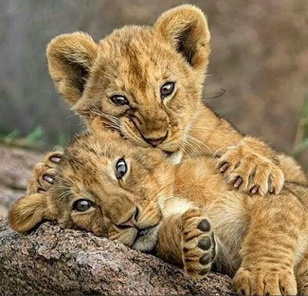 Babys Des Lowen Tiere Babys Des Lowen Tiere Wilde Tiere Susse Tiere Tiere